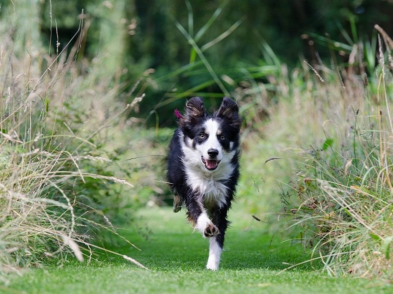 border-collie-662786_960_720
