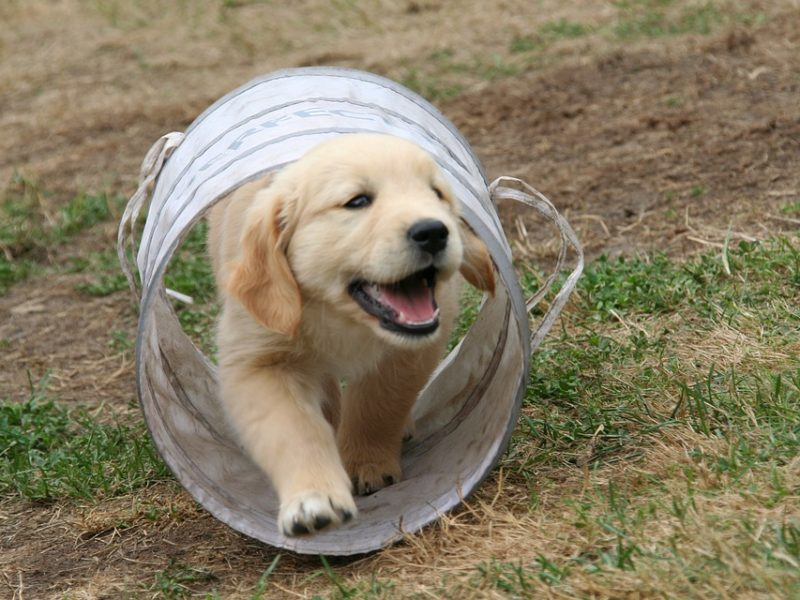golden-retriever-puppy-2706681_960_720